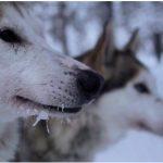 Bande annonce de Borealis – la Laponie en traîneau ou un hiver avec les chiens by Tania Houlbert