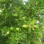 arganier, avec ses coques en fleur, avec lesquelles on fait l'huile d'argan