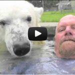 Un homme nage avec un ours polaire