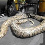 Un python de 40 kilos repêché dans la Seine à Paris