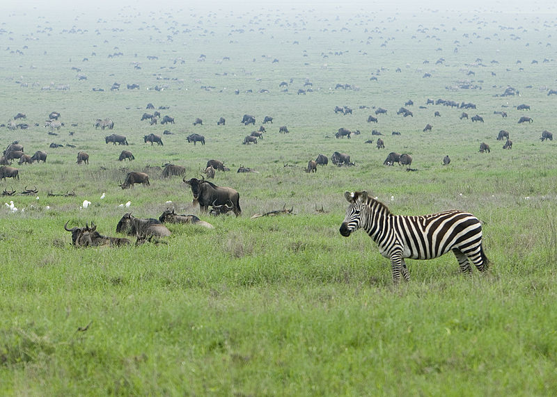 800px-Zebra_in_the_Serengeti_Wildebeest_Migration