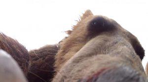 un-grizzli-un-peu-trop-curieux