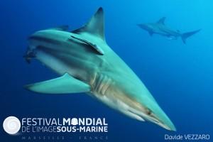 Aliwal Shoal  - South AfricaBlack Tip reef shark - Carcharhinus limbatus