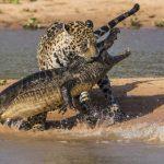 Le Buzz du jour. Un jaguar attaque un crocodile : plus de 23 millions d'internautes l'ont vue !