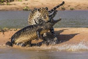Jaguar-attacks-a-Yacare-Caiman-2252805[1]