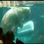 Au zoo de Chicago, l'ours polaire a une astuce contre la canicule