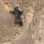 Incroyable, un ours escalade une paroi verticale