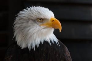 bald-eagles-341898_640-300x198[1]