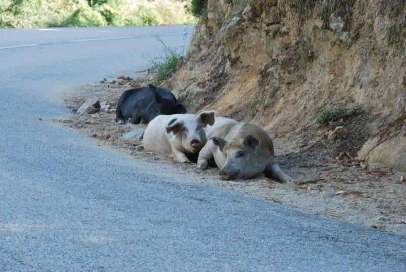 animaux-sur-la-route-devisa-a-porto-d84_408135[1]